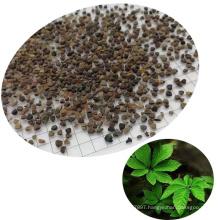 Natural Chinese Medicinal Herb Seven Leaf jiao gu lan Gynostemma Seeds