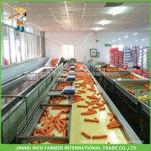 Cenoura fresca nova da colheita S / M / tamanho de L