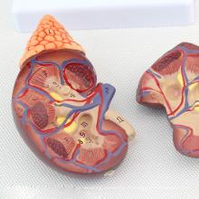 KIDNEY04 (12433) modèle anatomique de rein de santé de taille de grandeur dans 2 parties