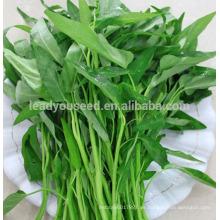 Semillas de la espinaca del agua de la buena calidad de JWS03 Gengmei para las ventas