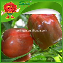 FRESH TRICOLOUR BELL PEPPER Competitive price