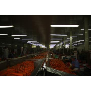 Belle couleur rouge carottes
