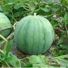 RW01 Gonsi big global green F1 hybrid seedless watermelon seeds for planting