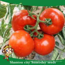 Suntoday bestimmte Pflanzung wissenschaftliche Namen von Gemüse Hybrid F1 chinesische Tomatensamen (22021)