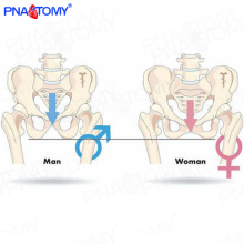 PNT-0111cy Medical science taille naturelle modèle masculin de bassin