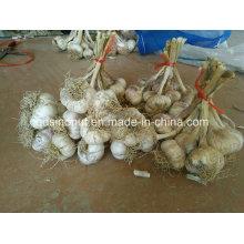 Китай Чеснок семян с корнями