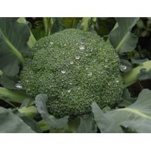 HBR01 Semillas de brócoli híbridas F1 resistentes al calor Senmin
