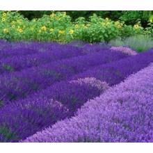 100% Pure Natural Lavender Oil