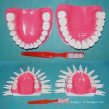 Humain Normal 28 Modèle de dents pour la démonstration médicale