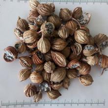 Natürlicher hochwertiger Amomi Fructus