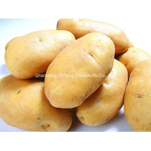 2016 Shandong Province Fresh Potato