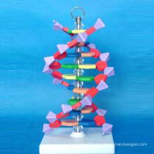 European DNA Vergrößertes Mikrostrukturmodell für die Lehre (R180106)
