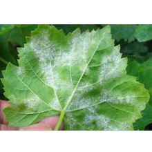 Botanical Pesticide Against Powdery Mildew on Grapes
