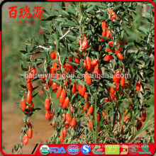 Goji berry where to buy fresh goji berries goji juice benefits
