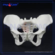 PNT-0112 female pelvis bone model for hospital