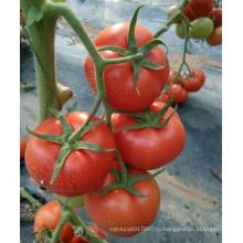 RT50 Cunhuo бактериальное увядание устойчив гибрид лучшие семена томатов для продажи с высокой доходностью