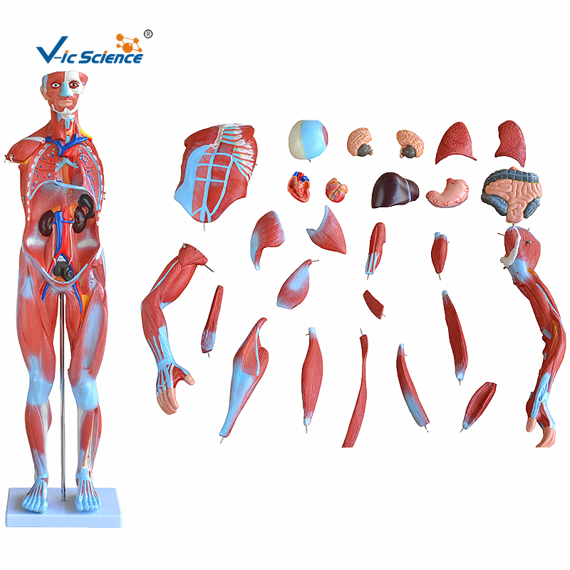 Human Muscles Model