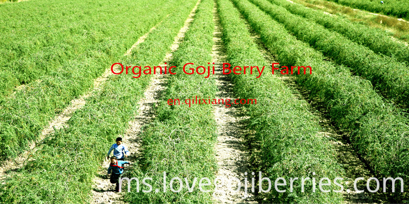 goji berries farm