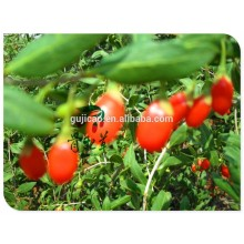 Goji berry seeds Chinese wolfberry,Lycium chinese for growing with high germination,dried goji