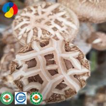 O cogumelo Shiitake de alta qualidade gera o saco