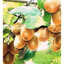 Самый продаваемый новый экспорт урожая Хорошее качество Свежие фрукты киви