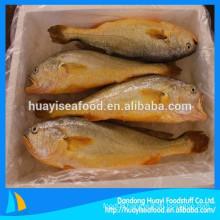 Frozen Yellow Croaker Fish Pseudosciaena Crocea