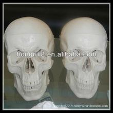 Modèle de crâne humain à la taille normale ISO Deluxe
