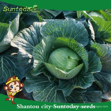 Suntoday vegetais F1 crescer couve chinesa assorted rodada planas altas vezes sementes híbridas vegetais frescos para venda (31001)