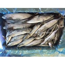 Gefrorener Fisch Bonito Größe