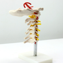VERTEBRA03 (12386) Coluna vertebral cervical da ciência médica com artéria do pescoço, modelo médico das vértebras da anatomia
