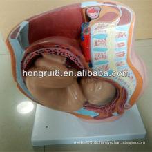 ISO Sagittal Anatomie des weiblichen Beckens Modell