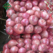 big fresh onion with low price