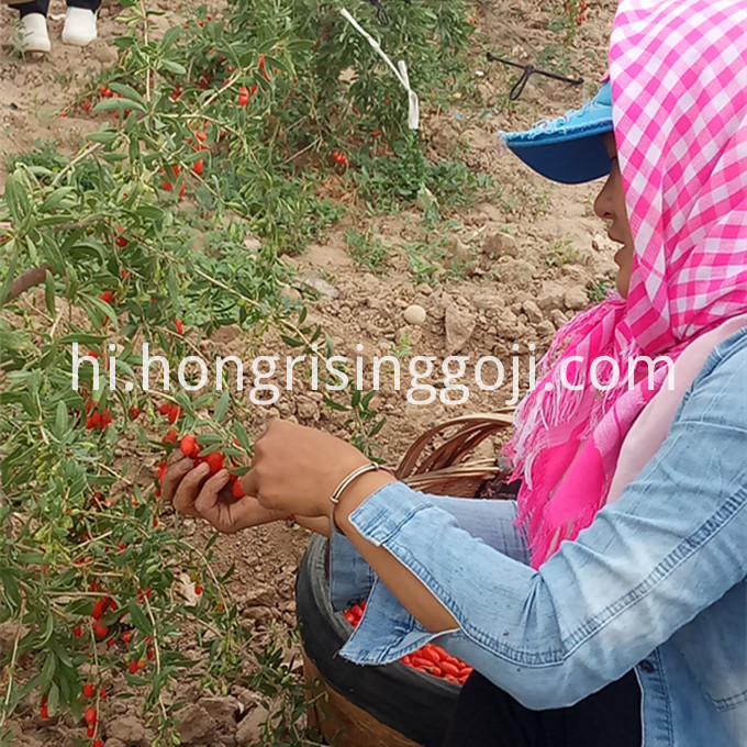Pick Goji Berry