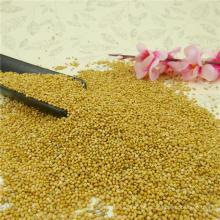 High purity yellow millet in husk