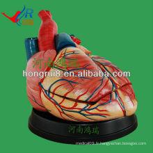 Modèle d'anatomie cardiaque Jumbo de type New ISO