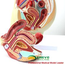 VENDA 12440 tamanho da vida Pelvis seção Anatomical Model 3part Anatomy