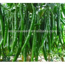 P01 Gogokind no.3 f1 hybrid long green pepper seeds