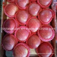 Red Fresh Qinguan Apple para a Índia