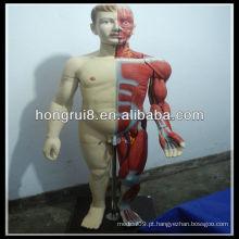Modelo de Musculos Masculinos de corpo inteiro de 170 cm com órgão interno