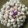 Boa qualidade roxo alho chinês