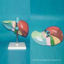 Modelo de anatomia do fígado humano impresso e numerado para educação (R100104)