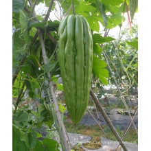 HBG02 Biaoshi de 26 a 30 cm de longitud, Semillas de calabaza amarga OP verde claro