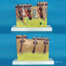 Vergrößerte menschliche Haut Anatomisches Modell für medizinische Lehre (R160110)