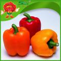 Polvo frío rojo pimienta dulce