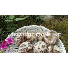 Champignons shiitake séchés sans tige (fleur blanche)