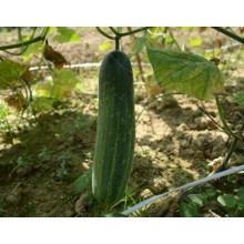 HCU06 Fabu 32cm de comprimento, sementes de pepino híbrido F1 chinês