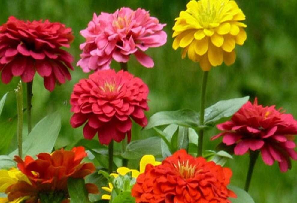 2018 High quality hybrid f1 zinnia seeds for growing