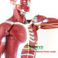 MUSCLE01 (12023) Numéroté Modèle de Figure Musclé Humain Anatomique Haute 78cm, 27-pièces, 1/2 Taille de la Vie 12023