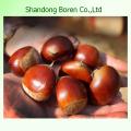 2015 Original Fresh New Crop Chestnut