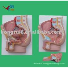Modèle d'anatomie sagittale masculine (2 pièces)